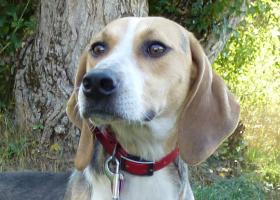 adoption beagle femelle spa gap hautes alpes
