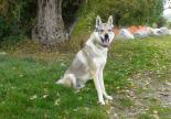 chien loup tchécoslovaque refuge adoption spa sud alpine gap veynes hautes alpes paca