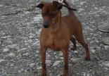 chien pinsher adoption spa sud alpine hautes alpes gap veynes paca